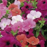 'Super Hybrid Trailing' F1 Mix is an annual with single trumpet-shaped, flowers in shades of orange, pink, rose or pale pink with some blush types in summer. Shows good tolerance to rain. Petunia x hybrida 'Super Hybrid Trailing' F1 Mix added by Shoot)