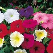 'Sundance' F2 Mix has single trumpet-shaped, flowers in shades of blue, red, ruby, salmon, white or yellow in summer.  Petunia x hybrida 'Sundance' F2 Mix added by Shoot)
