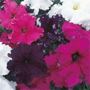 'Grand Frillytunia' F1 Mix is an annula with single trumpet-shaped,  flowers in shades of purple, pink or white with frilly margins in summer.  Petunia grandiflora 'Grand Frillytunia' F1 Mix  added by Shoot)