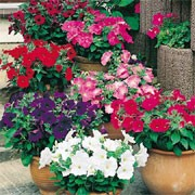 'Super Hybrid' F1 Mix is an annual with single, medium-sized trumpet-shaped, flowers in shades of purple, pink, rose, red or white in summer.  Petunia multiflora 'Super Hybrid' F1 Mix added by Shoot)