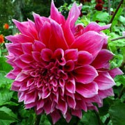 'Emory Paul' is a clump-forming, tuberous perennial with toothed, dark green leaves and large, double, rose-pink flowers blooming from midsummer until autumn.