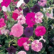 'Totty' Mix, a hedging Petunia, is a trailing or spreading annual with lightly scented flowers in shades of purple, pink or salmon through summer. Petunia x violacea 'Totty' Mix added by Shoot)