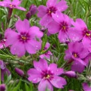 'Flame' Mix is a spreading, mat-forming evergreen perennial.  It has bright green foliage and in late spring to early summer, is covered with lilac-pink, salver-shaped flowers. Phlox subulata 'Flame' Mix added by Shoot)