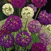 'Hybrids' is a compact herbaceous perennial that has oblong, spoon-shaped green leaves and stout stems that bear a sphere of closely packed, tiny flowers in shades of purple, rose, lavender, lilac and white in spring until early summer. Primin-free, so causes no allergic reactions. Primula denticulata 'Hybrids' added by Shoot)