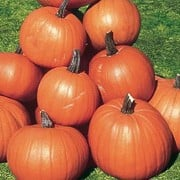 'Ghostrider' is a coarse vine widely cultivated for its oval-shaped, edible deep orange fruit in autumn and for carving into jack-o-lanterns at Halloween.  Cucurbita maxima 'Ghostrider' added by Shoot)