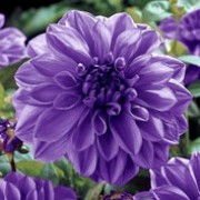 'Lilac Time' is a clump-forming, tuberous perennial with toothed, dark green, pinnate leaves and large, double, lavender, rose-pink, or purple flowers blooming from midsummer to mid-autumn