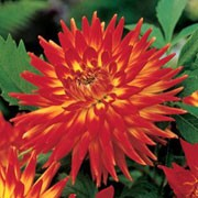 'Karma Bon Bini' is an upright, spreading, tuberous perennial with toothed, dark green, pinnate leaves and large, double, bi-coloured, bright red and yellow flowers blooming from midsummer to autumn. Dahlia 'Karma Bon Bini' added by Shoot)