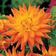 'Karma Corona' is an upright, spreading, tuberous perennial with toothed, dark green, pinnate leaves and large, double, bi-coloured, orange flowers with yellow-orange centres blooming from midsummer to autumn.