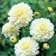 'Karma Serena' is a bushy, upright, tuberous perennial with toothed, dark green, pinnate leaves and large, double, white flowers with pale yellow centres blooming from midsummer to autumn.