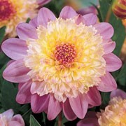'Lambada' is a clump-forming, tuberous perennial with toothed, dark green, pinnate leaves and, from midsummer to autumn, flowers with pale, rose-pink petals surrounding large, yellow and rose-pink centres. Dahlia 'Lambada' added by Shoot)