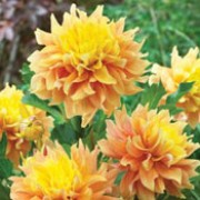 'Tyrell' is a clump-forming, tuberous perennial with toothed, dark green, pinnate leaves and pale orange flowers with yellow centres blooming from late summer to mid-autumn.