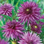 'Striped Ambition' is a vigorous, upright, clump-forming, tuberous perennial with toothed, dark green, pinnate leaves and large, double, white and purple-striped flowers blooming from late summer to mid-autumn. Dahlia 'Striped Ambition' added by Shoot)