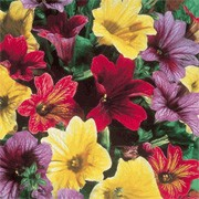 'Carnival' F2 Mix is an upright, bushy annual with sticky, hairy leaves and in summer, bears veined, funnel-shaped flowers in orange, red, yellow and blue, many with veining. Salpiglossis sinuata 'Carnival' F2 Mix added by Shoot)