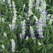 'Strata', part of the 'Seascape' Mix, is an upright perennial, often grown as an annual, with leaves whitish-hairy beneath on silvery green stems, and spikes of clear blue flowers throughout summer. Salvia farinacea 'Strata' added by Shoot)