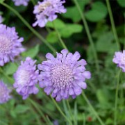 'Ritz Blue' is a dwarf, mounding, clump-forming perennial with fine cut, rich green basal leaves. It has pincushion flowers that are sky-blue, standing on erect stems from spring until frost. Scabiosa japonica 'Ritz Blue' added by Shoot)
