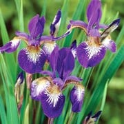 'Ottawa' is a clump-forming, rhizomatous perennial with upright, strap-like, dark green leaves and, in summer, white-throated, violet flowers with yellow bases. Iris sibirica 'Ottawa' added by Shoot)