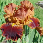 'Rustler' is a clump-forming, rhizomatous perennial with upright, strap-like, bright, blue-green leaves and, in late spring and early summer, flowers with deep orange-red standards above reddish-brown falls and yellow beards. Iris 'Rustler' added by Shoot)