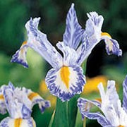 'Delft Blue' is a clump-forming, bulbous perennial with erect, strap-like, bright green leaves and irregularly-pattered, blue and white flowers in late spring and early summer. Iris 'Delft Blue' added by Shoot)
