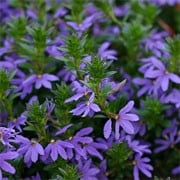 'Blue Dream' is a tender, compact, trailing annual.  It has mid-green leaves and from summer through to early autumn, bears fan-shaped blue flowers on relatively tall stems. Scaevola 'Blue Dream' added by Shoot)