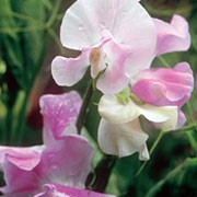 'Percy Thrower' is a vigorous annual that climbs with the use of tendrils. It has greyish-green leaves and in summer and autumn, bears relatively large, scented, white flowers that are flushed with pale lilac. Lathyrus odoratus 'Percy Thrower' added by Shoot)