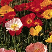 'Coonara' is a medium, upright, herbaceous perennial with green, finely divided foliage. It has long stems topped with papery, brightly coloured flowers throughout summer.
