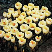 'Romance' is a perennial with creamy yellow goblet shaped flowers, deeper yellow inside, in late winter to early spring Crocus 'Romance' added by Shoot)