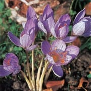 'Cassiope' is perennial with violet-blue goblet-shaped flowers in autumn. Crocus speciosus 'Cassiope' added by Shoot)