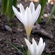 'Picturatus' is a perennial with purple-striped, white goblet-shaped flowers in spring. Crocus versicolor 'Picturatus' added by Shoot)