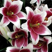 'Cyrano' is a bulbous perennial with erect stems bearing linear, spirally-arranged, dark green leaves and large, bicoloured, white and maroon flowers in mid- to late summer. Lilium 'Cyrano' added by Shoot)