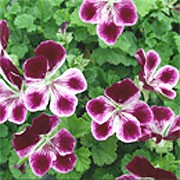 'Angel Eyes Burgundy' is a tender, bushy, trailing when mature, evergreen perennial with rounded, lobed, mid-green leaves and, in summer and autumn, double flowers with deep purple-red upper petals and violet-edged, deep purple-red lower petals. Pelargonium 'Angel Eyes Burgundy' added by Shoot)