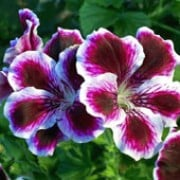'Angel Eyes Randy' is a tender, bushy, trailing when mature, evergreen perennial with rounded, lobed, mid-green leaves and, in summer and autumn, clusters of burgundy flowers with wide, white edges. Pelargonium 'Angel Eyes Randy' added by Shoot)