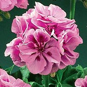 'Antik Pink' is an upright to lax, tender, evergreen perennial with rounded leaves with a prominent black zone and clusters of single, rose-pink flowers with darker pink markings in summer until mid-autumn.