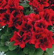 Pelargonium 'Aristo Velvet Red'