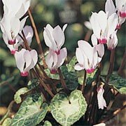 f. albissimum is a perennial with dark-green, rounded leaves, sometimes having silvery markings.  From late winter to early spring, it bears white flowers, stained red at the base, held above the foliage on dark-red, upright stems. Cyclamen coum subsp. coum f. albissimum added by Shoot)