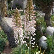 Eremurus robustus added by Shoot)