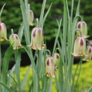 Fritillaria acmopetala Added by Nicola