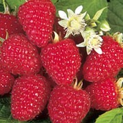'Joan J' is a late fruiting raspberry with high yields of sweet, red berries from late July to October.  Rubus idaeus 'Joan J' added by Shoot)