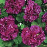 'Atlantic Burgundy' is a tender, trailing, evergreen perennial with rounded, lobed, lightly-zoned, mid-green leaves and clusters of double, maroon flowers in summer and autumn. Pelargonium 'Atlantic Burgundy' added by Shoot)