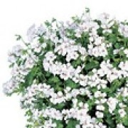 Pelargonium 'White Blizzard' (08/04/2012)  added by Shoot)
