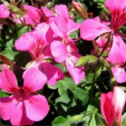 'Pink Blizzard' is a compact, trailing, tender, evergreen perennial with rounded, lobed, mid-green leaves and clusters of single, bright pink flowers in summer and autumn.