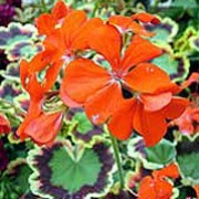 'Contrast' is an erect, bushy, tender, evergreen perennial with rounded, golden-yellow, red and green variegated leaves and clusters of single, bright red flowers in summer and autumn. Pelargonium 'Contrast' added by Shoot)