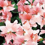 'Fireworks Salmon' is an erect, bushy, tender, evergreen perennial with pointed-lobed, mid-green leaves with dark zones and clusters of single, star-shaped, salmon-pink flowers in summer and autumn.