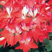 'Fireworks Red-White' is an erect, bushy, tender, evergreen perennial with pointed-lobed, mid-green leaves with dark zones and clusters of single, star-shaped, red and white flowers in summer and autumn.