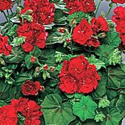 'Tomgirl' is a bushy, trailing, tender, evergreen perennial with rounded, mid-green leaves and semi-double, red flowers in summer and autumn.