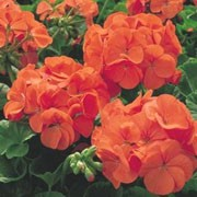 'Orange Appeal' is an erect, bushy, tender, evergreen perennial bearing rounded, mid-green leaves with dark green margins and large clusters of bright orange flowers on upright stems in summer and autumn Pelargonium 'Orange Appeal' added by Shoot)