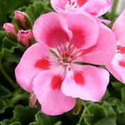 'Rose Splash' is a bushy, erect, tender, evergreen perennial with rounded, lobed, dark green leaves and, in summer and autumn, semi-double, bright pink flowers with red spots in the centre of each petal. Pelargonium 'Rose Splash' added by Shoot)
