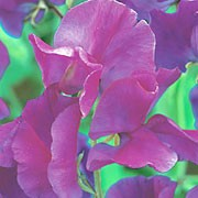 'Sir Cliff' is a climbing annual with large, softly fragrant, rosy-purple flowers that bloom from early summer to early autumn.