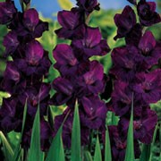 'Blue Isle' is a cormous perennial with fans of erect, sword-shaped, mid-green leaves and spikes of funnel-shaped, dark purple flowers in summer.