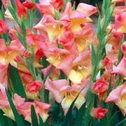 'Glamini Zoe' is a cormous perennial with fans of erect, sword-shaped, dark green leaves and, in summer, spikes of funnel-shaped, peach- or orange-flushed, pink flowers with yellow throats. Gladiolus 'Glamini Zoe' added by Shoot)