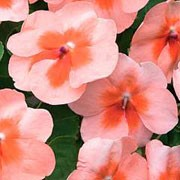'Tempo Peach Butterfly' is a spreading, evergreen perennials grown as annuals with fleshy stems, elliptic, toothed, dark green leaves and semi-double, five-petalled, apricot flowers with darker centres in summer and early autumn.